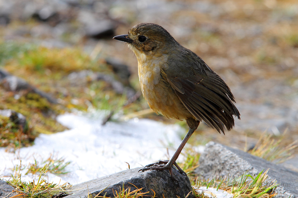 Tawny Antpitta, Grallaria quitensis, Los Nevados, Colombia, by Adam Riley