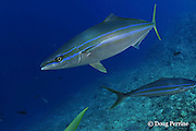 rainbow runner, rainbow yellowtail or Hawaiian salmon, Elagatis bipinnulata, Shark Reef, Viti Levu, Fiji, South Pacific