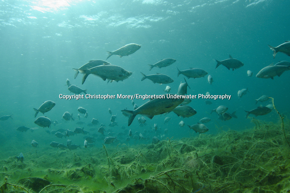 School of Gizzard Shad, Lake Michigan<br />