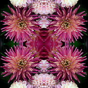 Photographic series of digital computer art from an image of cut Dahlias<br />