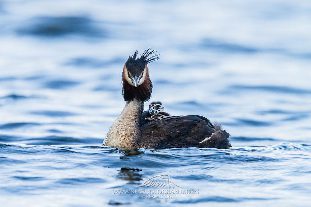 Australasian Crested Grebe chick riding on the back of its parent, Lake Hayes, New Zealand