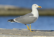 Yellow-legged Gull - Larus michahellis - summer adult. L 52-60cm. Similar plumage to Herring Gull but adult has yellow legs. Typically, consorts with other large gull species. Sexes are similar. Adult in summer has grey back and upperwings (darker than Herring Gull) with more black and less white in wingtips. In winter, similar, sometimes with small dark streaks on head. Juvenile and 1st winter have grey-brown back and wing coverts, and otherwise dark wings. Head, neck and underparts are streaked, are paler than similar age Herring Gull. Adult plumage acquired over 3 years. Voice Similar to Herring Gull but perhaps more nasal. Status S European counterpart of Herring Gull and a rather scarce non-breeding visitor to Britain and Ireland. Most frequent in winter.