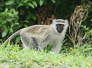 MONKEY ON THE ROAD FROM BLANTYRE MALAWI SOUTH EASTERN AFRICA.24.11.06.PIX STEVE BUTLER