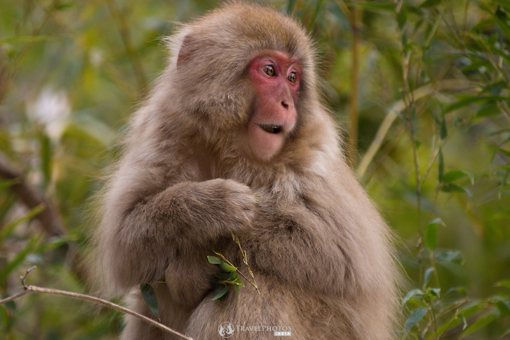Japanese snow monkeys, or Japanese macaques, grooming and foraging near Yudanaka, Nagano.
