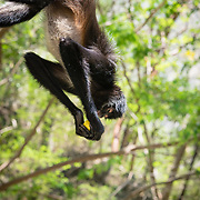 Spider monkey in the jungle at Sumidero Canyon, Chiapas, Mexico