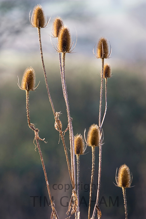 Teasel thistles, Gloucestershire, United Kingdom.