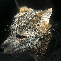 "Graxaim ou cachorro-do-mato, ""Cerdocyon thous"", Zoo de Pomerode Santa Catarina, Brasil. foto de Ze Paiva/Vista Imagens"