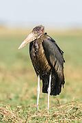 Marabou Stork covered in oil , Chobe River, Kasane, Botswana.