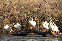 American White Pelicans are slow to wake on an early spring morning!