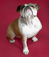 an english bulldog on a red background
