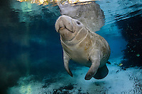 Florida manatee, Trichechus manatus latirostris, a subspecies of the West Indian manatee, endangered. An adult female manatee rises for a breath near a warm blue spring on a cold winter day. Fish, bream, Lepomis spp., are in the background. Horizontal orientation with blue water and soft sunlight. Three Sisters Springs, Crystal River National Wildlife Refuge, Kings Bay, Crystal River, Citrus County, Florida USA.