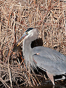 A great Blue Heron spears a fish at Bosque del Apache NWR, New Mexico