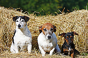 Jack Russell terriers sitting on a bed of hay, England, United Kingdom