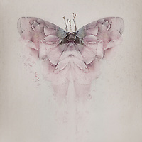 Rose butterfly with pink wings