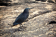 A lava heron (Butorides sundevalli) near the shore of James Bay, Santiago Island, Galapagos Archipelago - Ecuador.