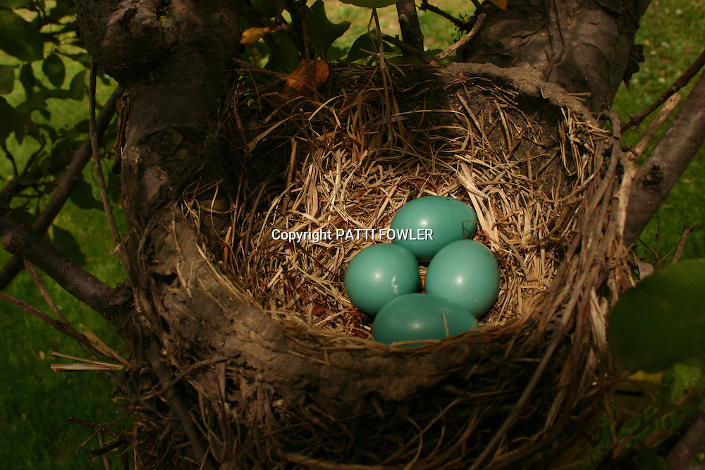 Robin eggs in nest