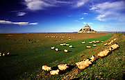 A flock of sheep pass in front of Mont Saint-Michel, Normandy, France
