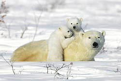 A female polar bear laying in the snow (Ursus maritimus) with her two new cubs, Manitoba, Canada