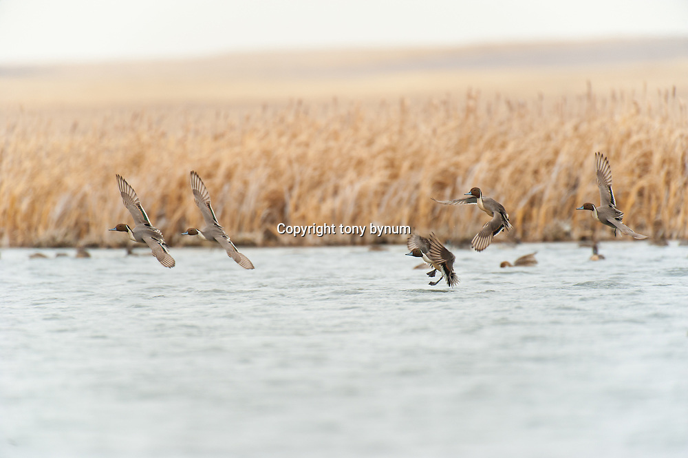 a group of northern pintail ducks landing on water