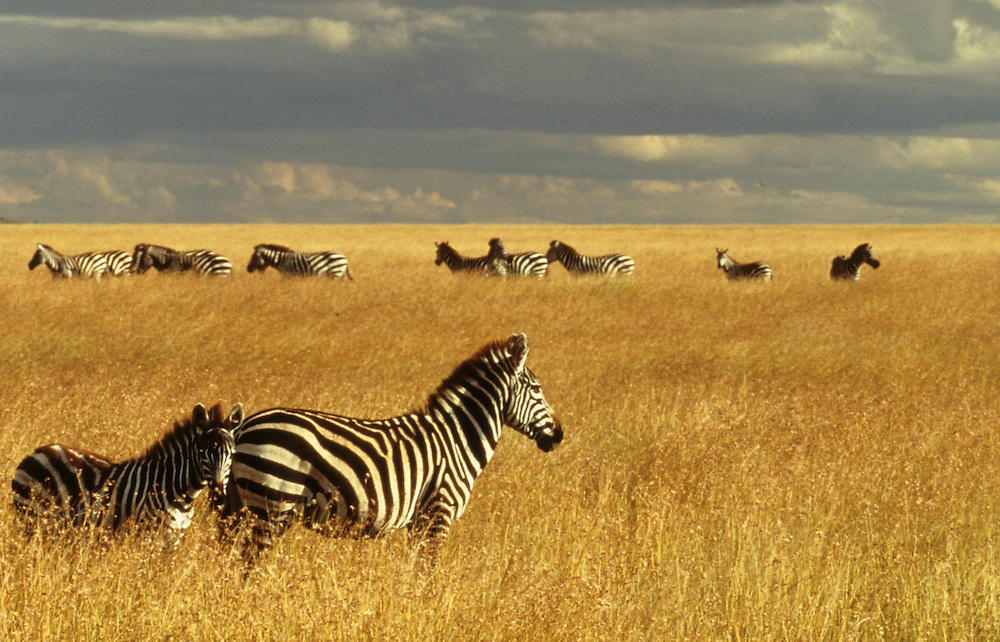 Africa, Kenya, Masai Mara National Reserve, Plains or Burchell's Zebra (Equus bruchelli) grazing in golden grass