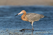 Reddish Egret - Egretta rufescens
