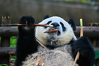 Chengdu, China - September 19, 2014: one giant Panda bear eating bamboo roots in Chengdu Sichuan China