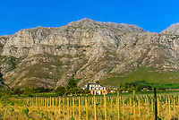Vineyards  near Stellenbosch, Cape Winelands, near Cape Town, South Africa.