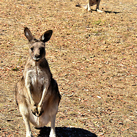 Pair of Kangaroos at Zoodoo Zoo in Richmond, Australia<br /> The Forester kangaroo is Tasmania's largest marsupial, meaning they carry and suckle their newborns in a pouch. This animal characteristic is almost exclusive to Australia. There is an excellent reason this species is named macropus giganteus (giant large foot); a male roo can weigh 130 pounds and measure over 6.5 feet tall. The Tasmanian eastern gray is endemic to this island state. All kangaroos are nocturnal but you can walk inside their pen for a visit at the Zoodoo Zoo.