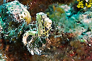 Caribbean Dwarf Seahorse, Hippocampus syngnathidae, Seahorses, Parrots Landing, Grand Cayman