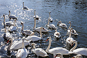 © Licensed to London News Pictures. 07/03/2015. Kingston, UK. Swans near to Kingston Bridge.  People and swans in the fine weather in Kingston, Surrey, today 7th March 2015. Photo credit : Stephen Simpson/LNP