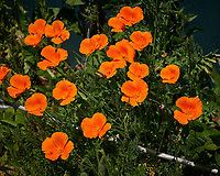 Orange Californial Poppy. Image taken with a Leica CL camera and 60 mm f/2.8 lens (ISO 100, 60 mm, f/5.6, 1/1600 sec).