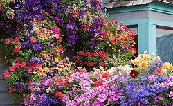 Summer blossoms in Breckenridge, Colorado.