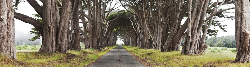 Monterey Cypress Tree Tunnel Panoramic Photo, Point Reyes National Seashore, California