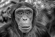Black and White closeup portrait of a Chimpanzee (Pan troglodytes)