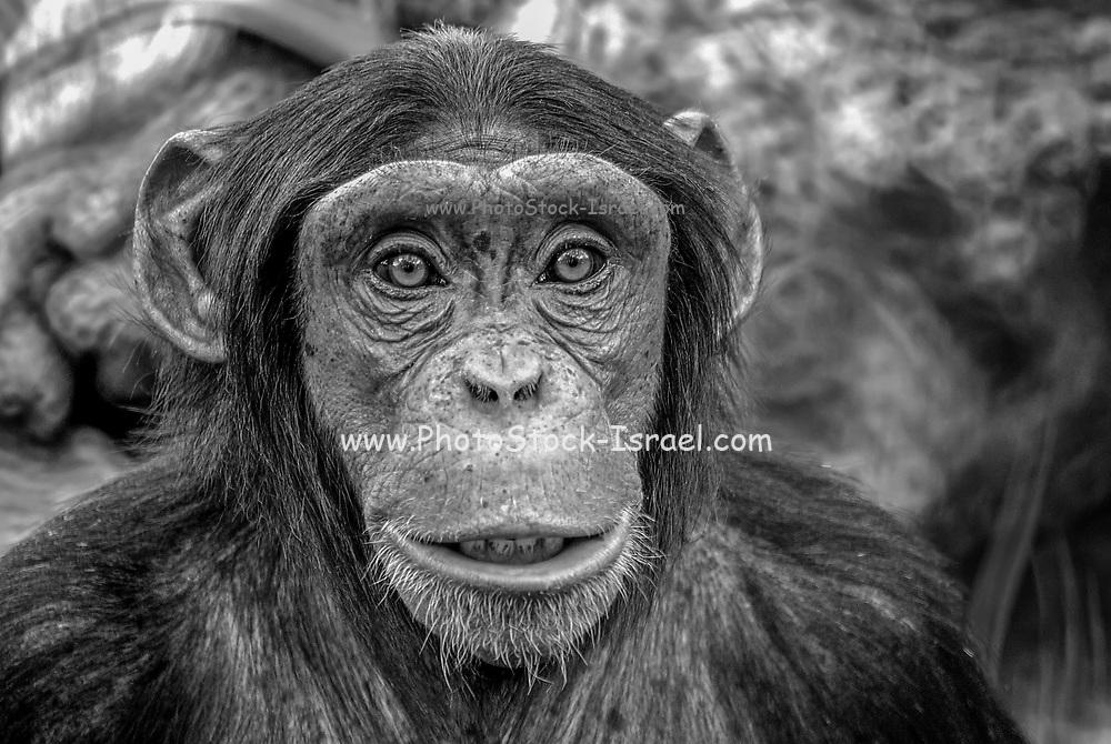 Black and White closeup portrait of a Chimpanzee (Pan troglodytes)