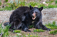 BLACK BEAR- YELLOWSTONE