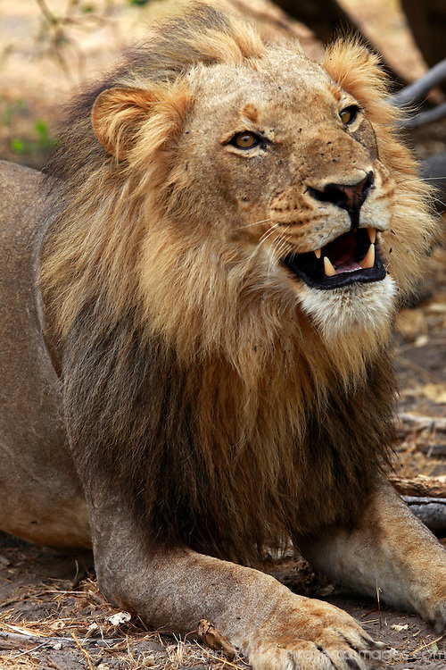 Africa, Botswana, Savute. Lion appearing to smile.
