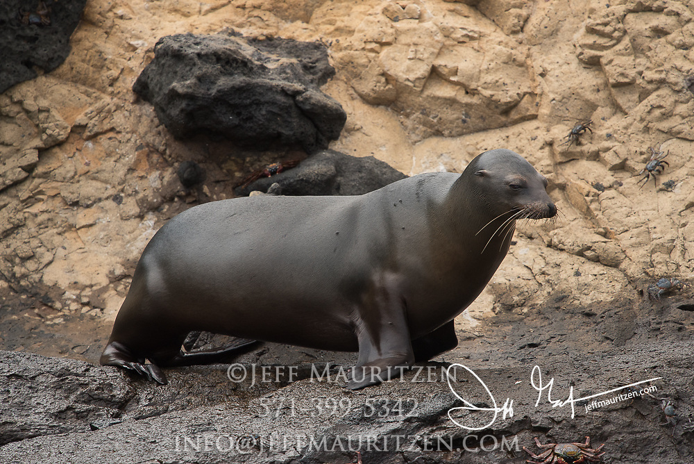 A Galapagos sea lion walks along Punta Vicente Roca on Isabela island, Galapagos islands, Ecuador.