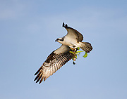 An osprey carries nesting material to it's nest to continue the building process. Blue Cypress Lake, Florida.