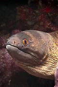 Yellow-margin or Yellow-edged Moray Eel (Gymnothorax flavimarginatus) - Agincourt Reef, Great Barrier Reef