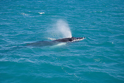 A humpback whale calf exhales as it swims near Hall Point on the Kimberley coast.