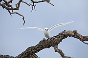 perched White Tern stretching wings, Midway Atoll