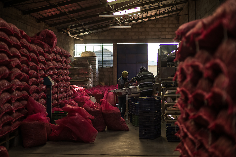 JUNÍN, PERU - OCTOBER 2, 2014:  Workers sort dried maca to be processed at the Koken of Peru processing plant in Junìn, Peru. Many regard maca as a nutrient-dense super food possessed of wonderous properties, including the ability to prevent cancer or reinvigorate the body. But maca's international popularity – and the sudden surge in demand from China -- may be due primarily to a widespread belief that it is a potent sex tonic capable of boosting libido or increasing fertility. Some scientific studies claim to show a link between maca consumption and an increase in libido but such beliefs go back centuries.  CREDIT: Meridith Kohut for The New York Times