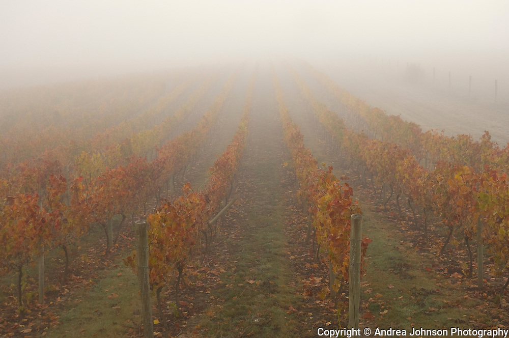 Fog over Joe Dobbes vineyard, Eola Hills, Oregon