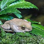 Frog near stream, Marojejy National Park, Madagascar