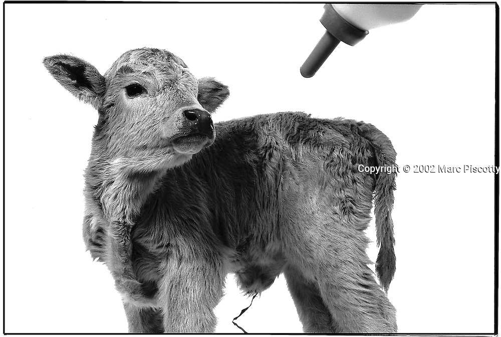"SHOT 1/15/2002 - ""Babe"" a two week old female Charlais calf is lured by a milk bottle at feeding time one afternoon at the National Western Stock Show. Babe was born on Mark Richardson's MDR Farms in Morrison, Colo. She is being raised as a beef cattle. A cattle calf is the offspring of a cow and a bull. This terminology is also usually common to other species where the young is called a calf. A calf that has lost its mother is referred to as a dogie. The birth of a calf is calving..(Photo by Marc Piscotty / © 2002)"