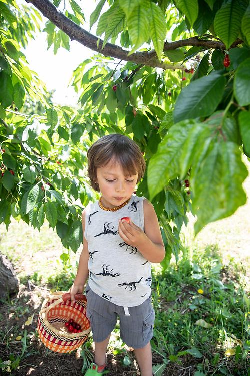 Aspen Slade, 4, hand-pick cherries Friday, May 31, 2019 at Oscar and Jontue Grado's cherry farm near Stockton, Calif.