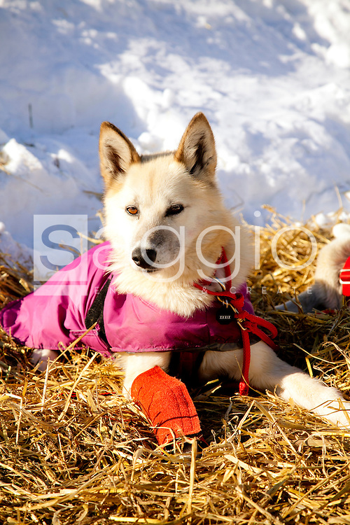 A mushing dog rests during the 2011 Iditarod Trail Sled Dog Race at the check-point in McGrath, Alaska.