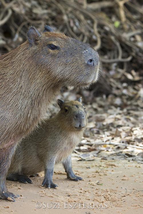 Capybara<br /> Hydrochaeris hydrochaeris<br /> Mother and baby<br /> Pantanal, Brazil
