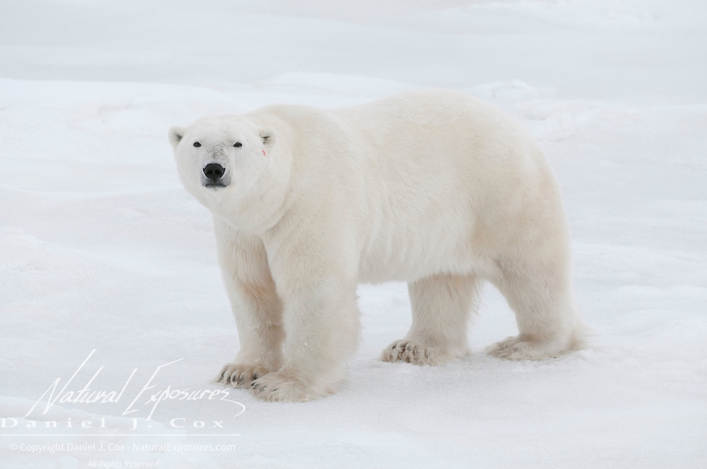 A polar bear near Cape Churchill, Manitoba, Canada.